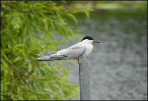 Common Tern 170718