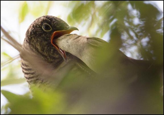 Cuckoo 090718