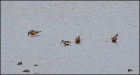 Curlew Sandpipers 280718.jpg