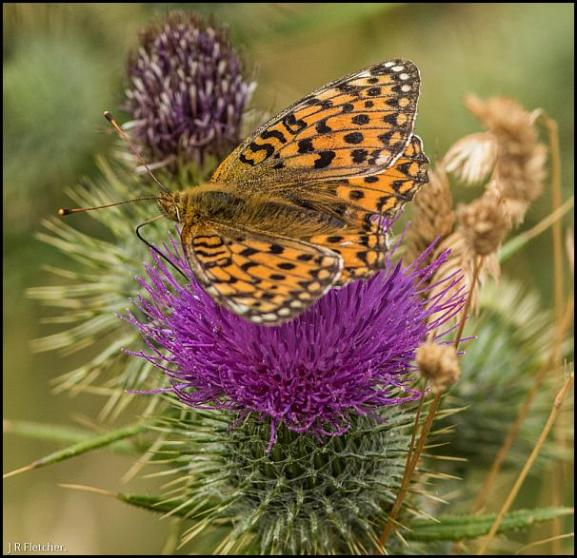 Dark Green Fritillary 180718