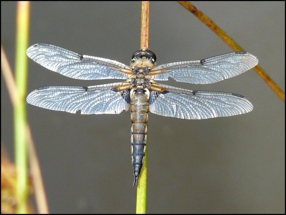 Four-spotted Chaser 130718
