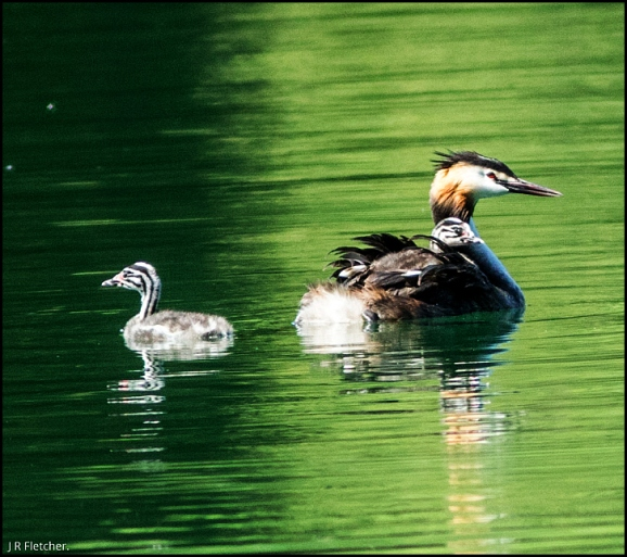 Great Crested Grebes 050718