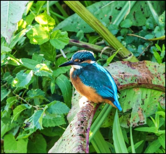 Kingfisher 140718)