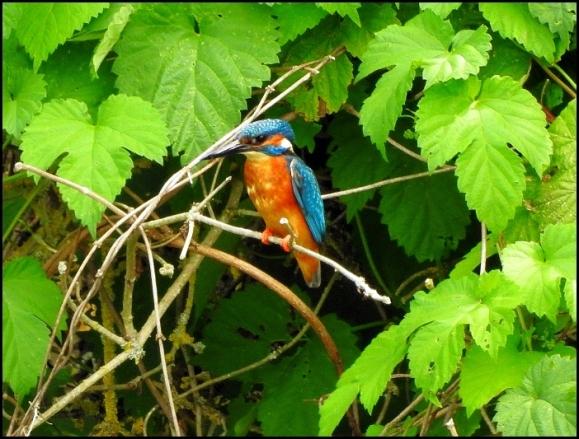 Kingfisher 240718