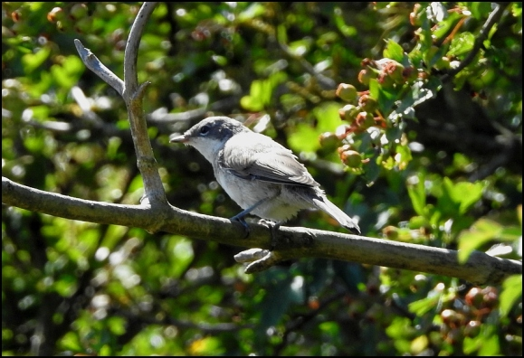 Lesser Whitethroat 240718
