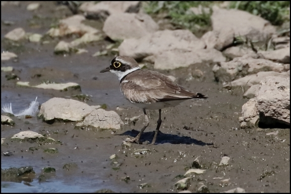 Little Ringed Plover 020718