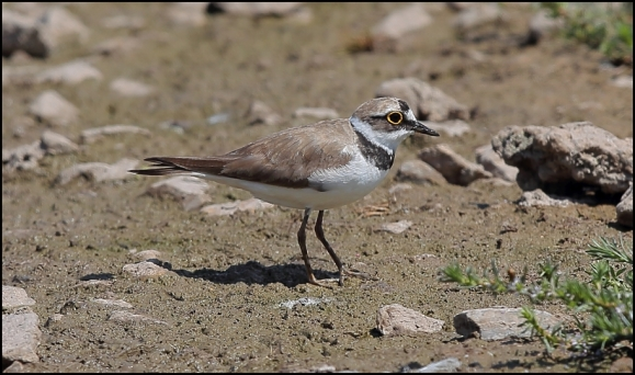Little Ringed Plover 150718