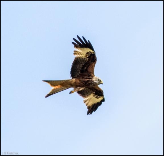 Red Kite 210718 1