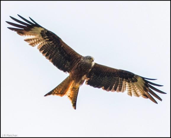 Red Kite 210718 2