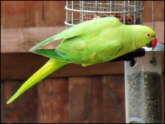 Ring-necked Parakeet 110718