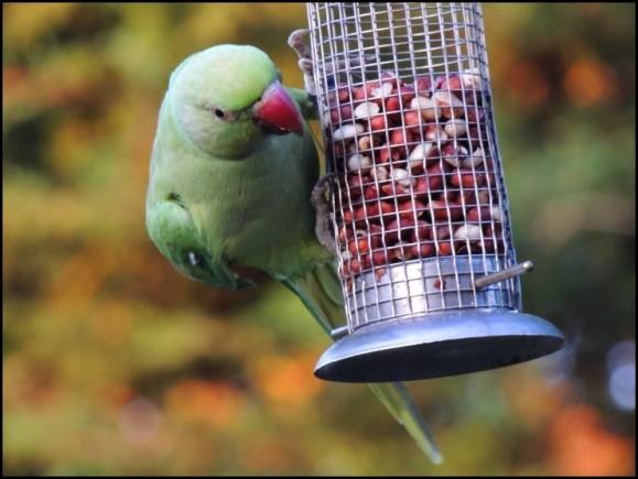 Ring-necked Parakeet 250718