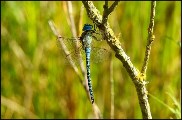 Southern Migrant Hawker 220718.jpg