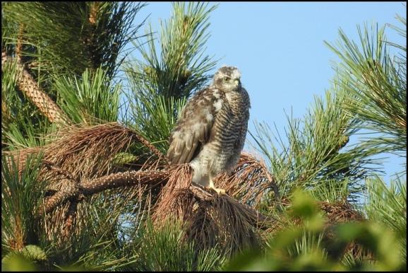 Sparrowhawk 110718