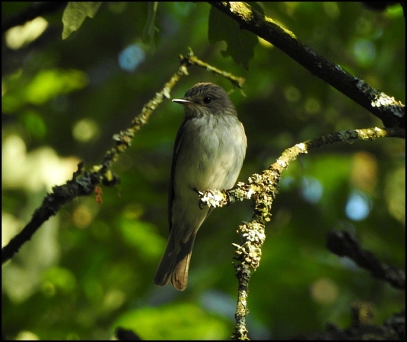 Spotted Flycatcher 040718