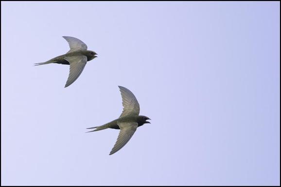 Swifts 200718