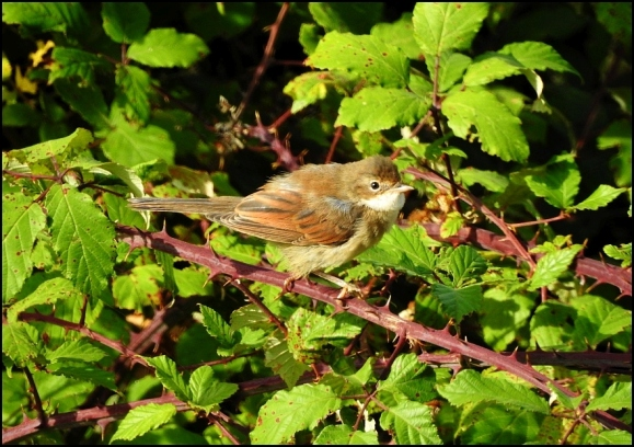 Whitethroat 250718