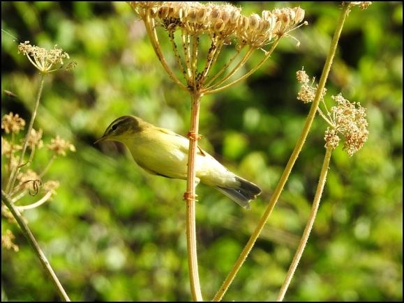 Willow Warbler 250718