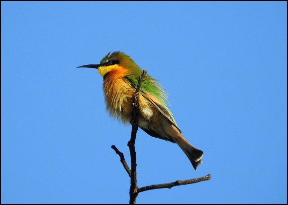 Zim - Little Bee-eater