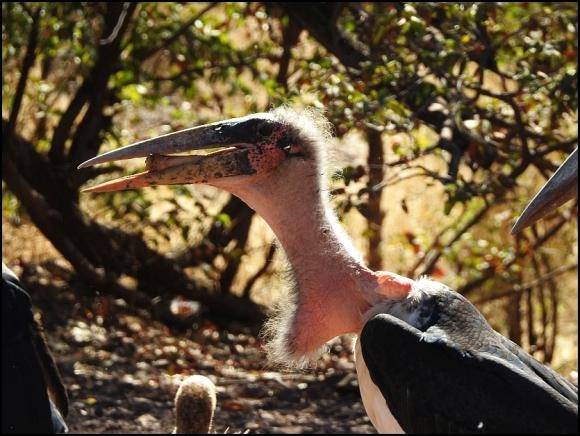 Zim - Marabou Stork