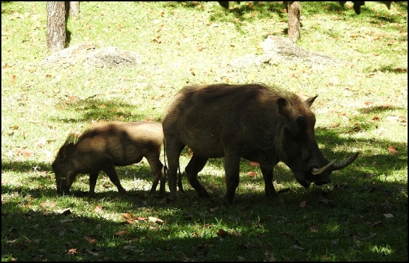 Zim - Warthogs