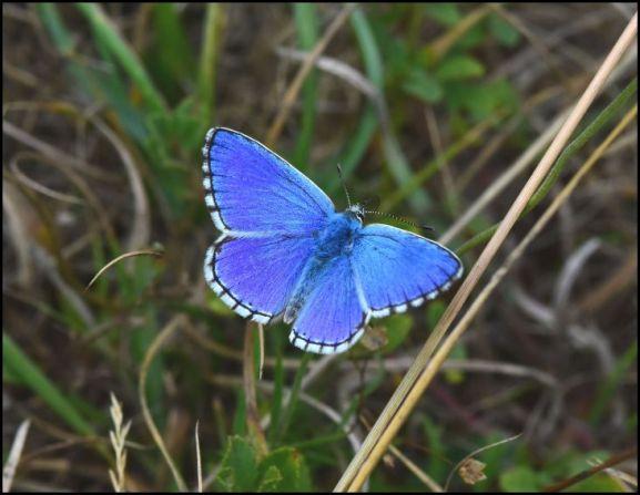 Adonis Blue 150818