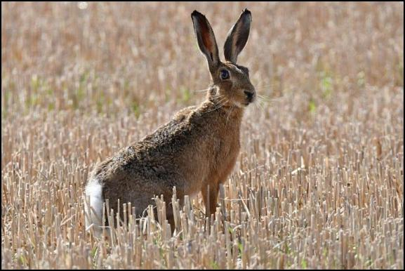 Brown Hare 240818