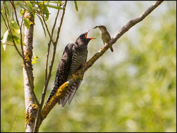 Cuckoo & Sedge Warbler 040818 2