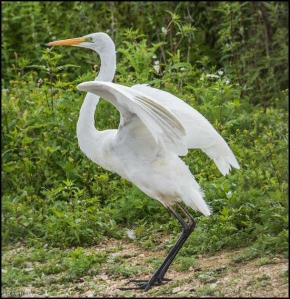 Great White Egret 200818 1