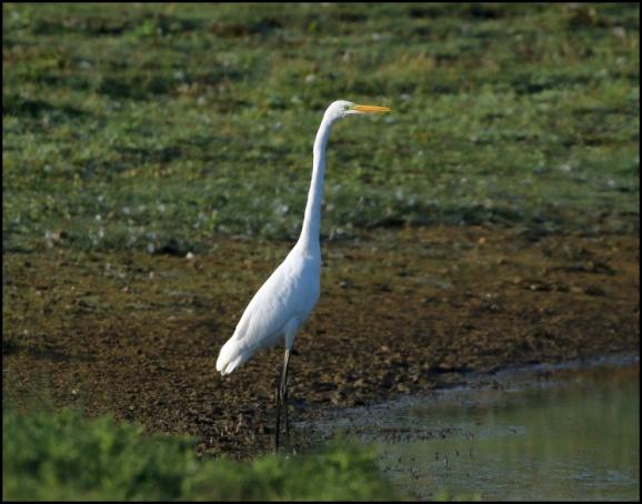 Great White Egret 250818