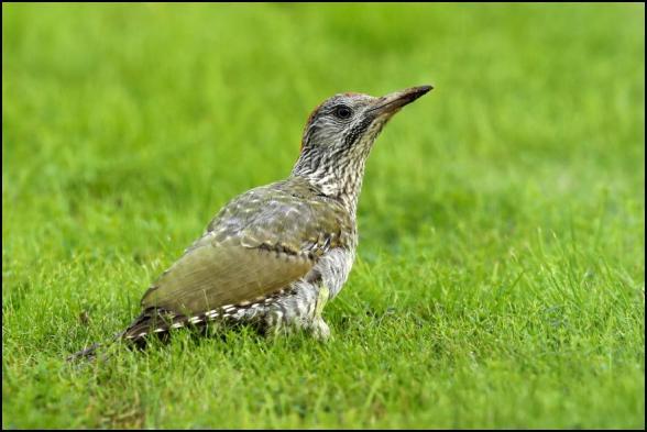 Green Woodpecker 290818