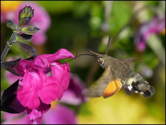 Hummingbird Hawkmoth 210818.jpg