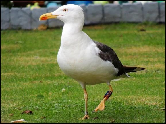 Lesser Black-backed Gull 190818