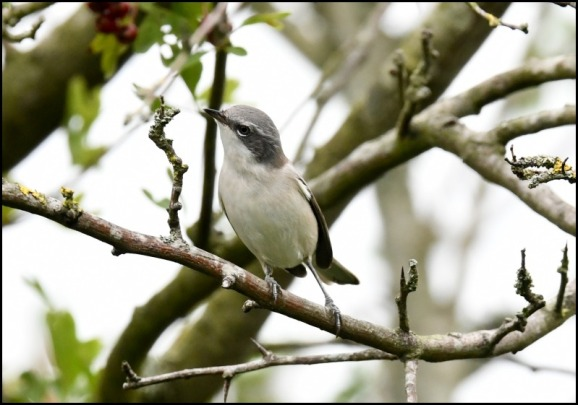 Lesser Whitethroat 200818