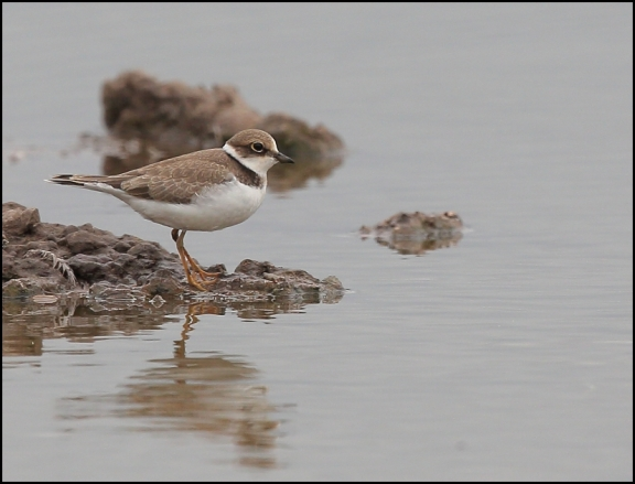 Little Ringed Plover 180818 1