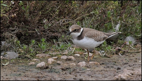 Little Ringed Plover 180818 2.jpg