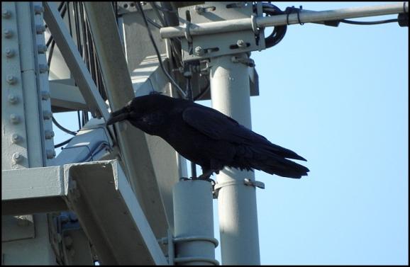 Raven 310818