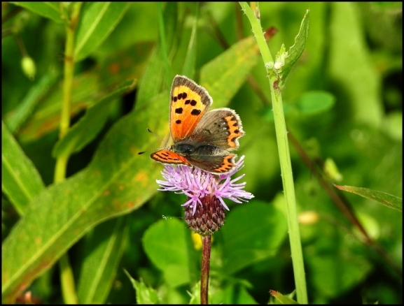 Small Copper 300818