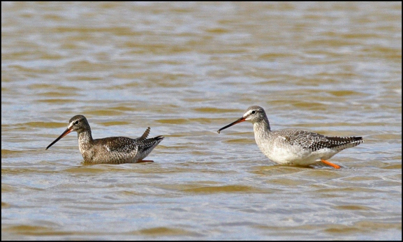 Spotted Redshanks 290818 1