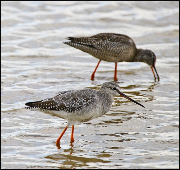 Spotted Redshanks 290818 2