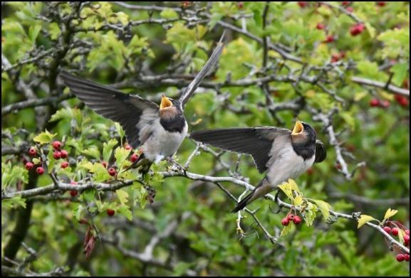 Swallows 200818