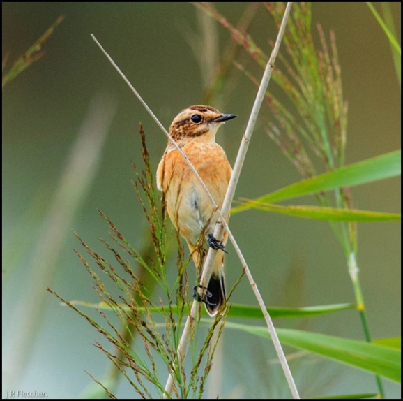 Whinchat 130818