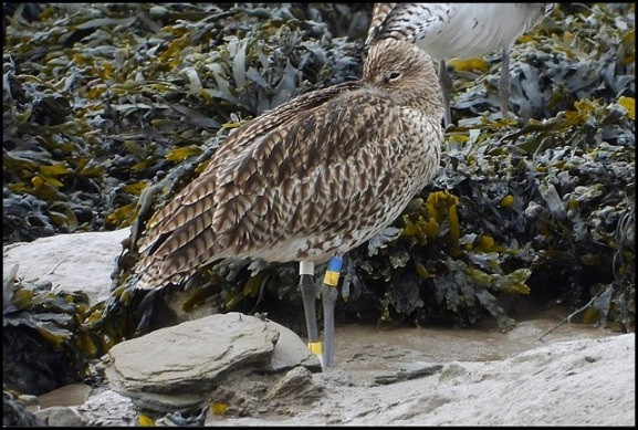 Curlew 300918