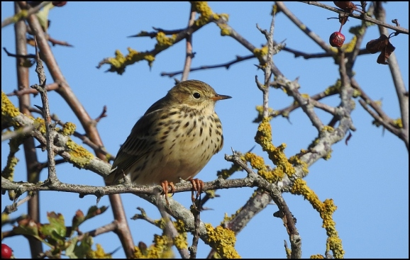 Meadow Pipit 290918
