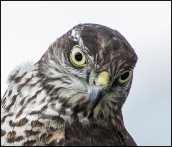 Sparrowhawk 030918 1