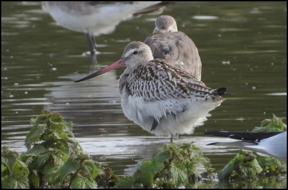 Bar-tailed Godwit 231018