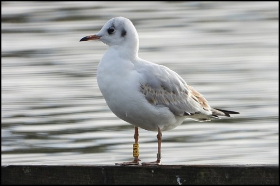 Black-headed Gull 231018