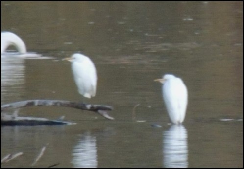Cattle Egrets 091018