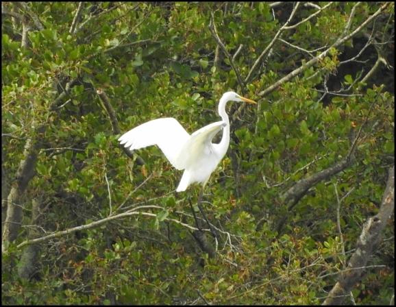 Great White Egret 021018.jpg
