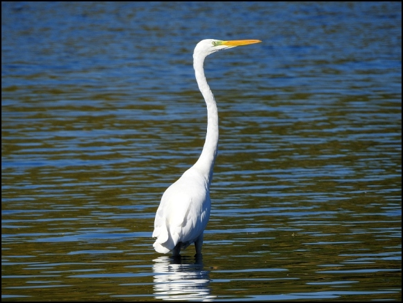 Great White Egret 1 091018