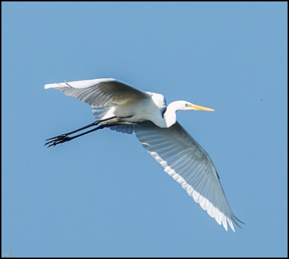Great White Egret 101018